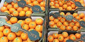 Mandarine Orri KSC Jaffa